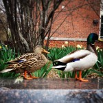 Ducks on Campus
