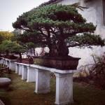 Lingering Garden Bonsai