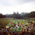 West Lake Lotuses