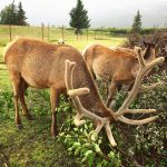 Hungry Elks