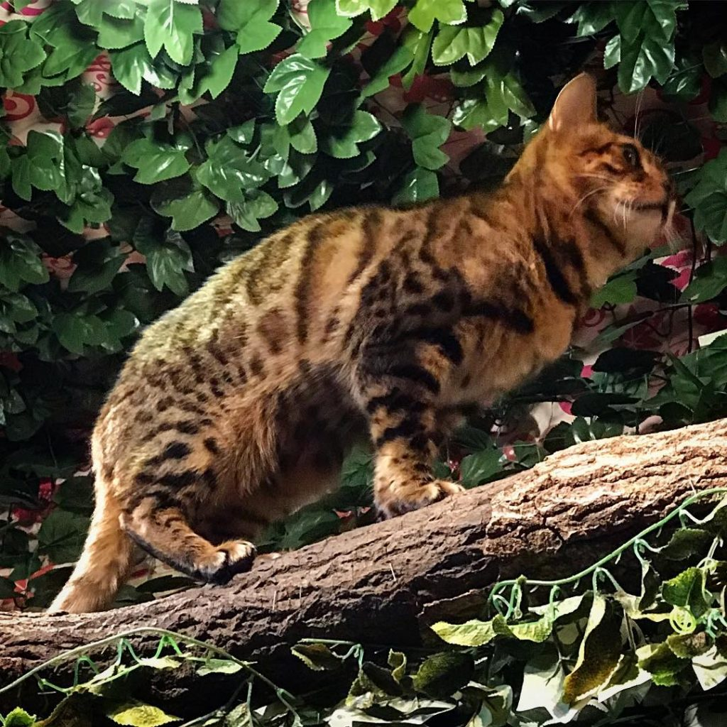 Bengal Forest - Cat on the Prowl