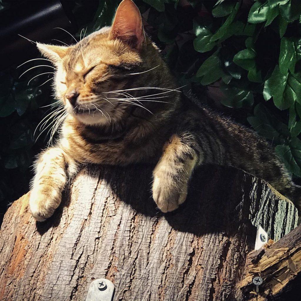Bengal Forest - Sleepy Cat