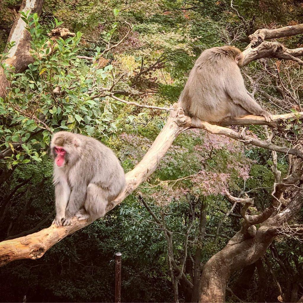 Iwatayama Monkey Park - Two Monkeys in Tree