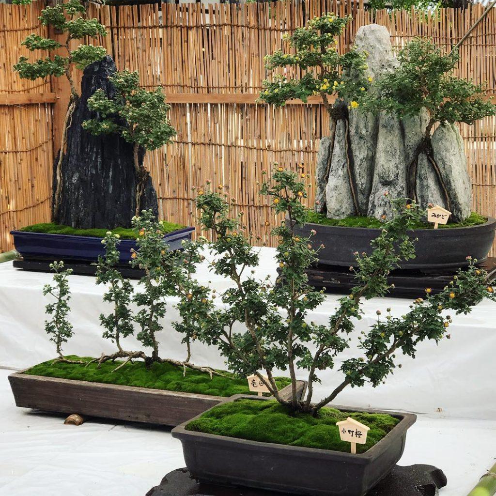 Nishi Hongan-ji - Bonsai